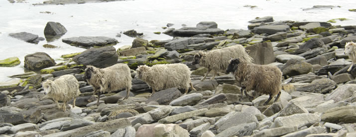 In the Orkney Island of North Ronaldsay, the sheep graze on seaweed of the beach