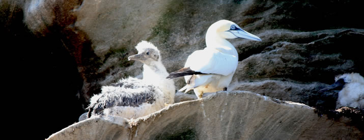 A trip to see the Gannets of Noss