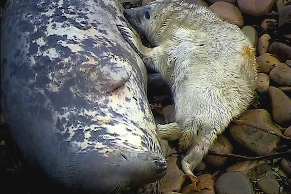 Sanday Seal Pup and Mum