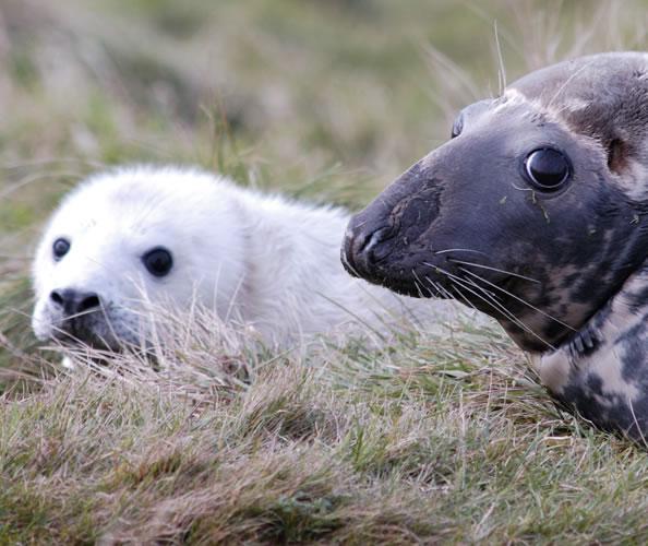 Grey Seals in Orkney