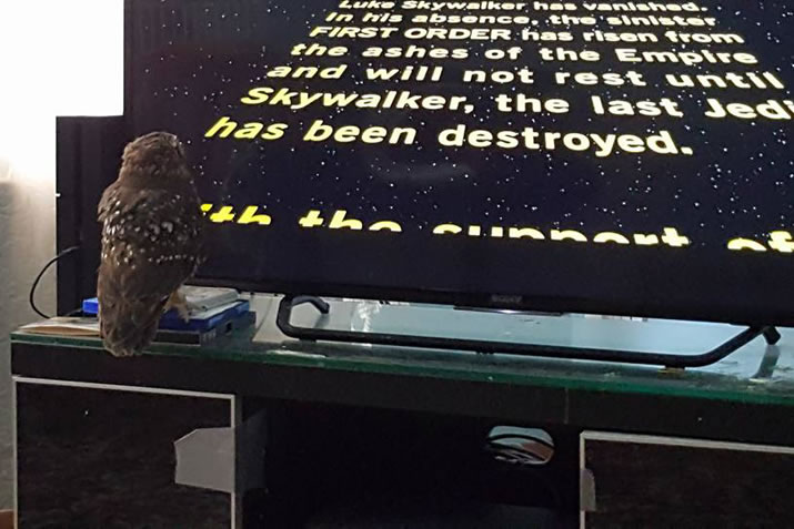 Owl watching Star Wars