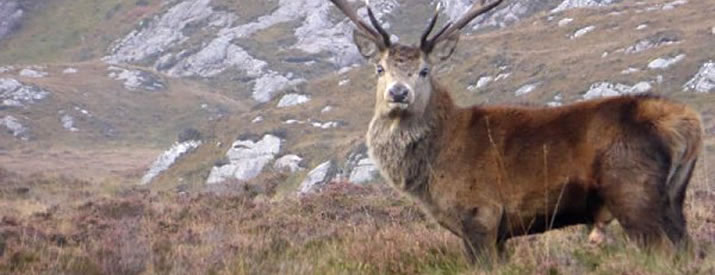 Deer can be seen in the wild in Caithness and the North Highlands of Scotland
