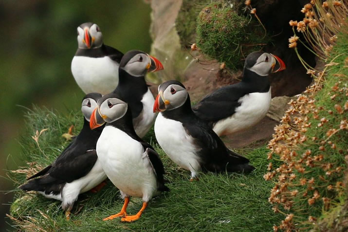 Puffins in Caithness