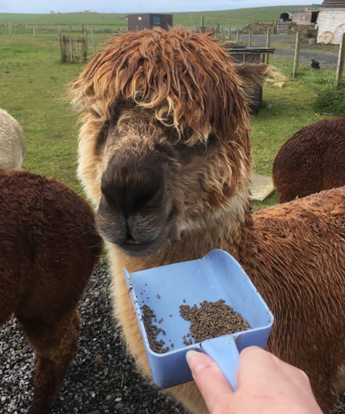 Feeding time at the Orkney Alpaca farm