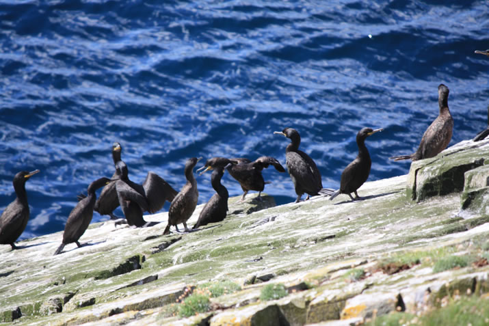 Cormorants on the island of Mousa, Shetland