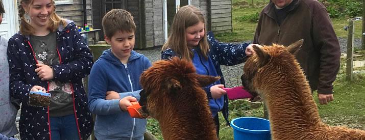 Meeting Orkney Alpacas at Skate Rumple Farm