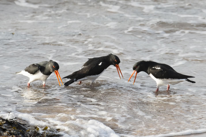 Oyster catchers at Scapa Beach, Orkney