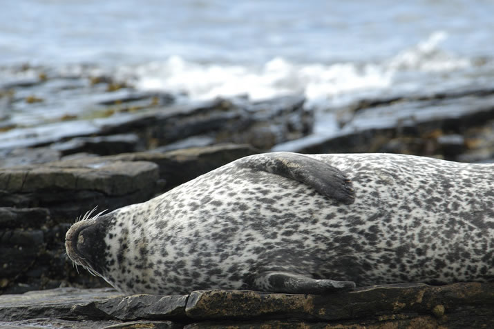 Common seal, Orkney