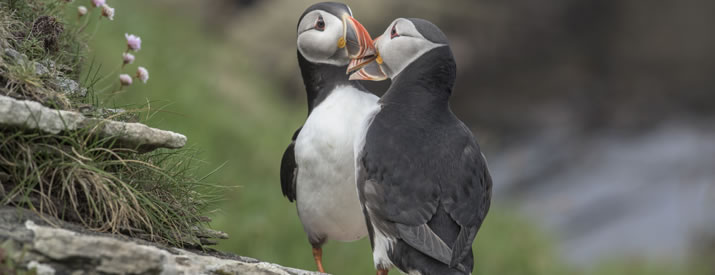Puffins at the Castle of Burrian, Westray, Orkney