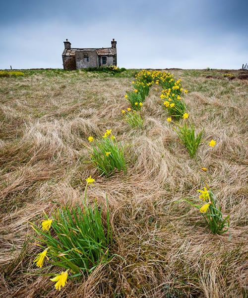 Daffodil path to an abandoned cottage on Graemsay by Premysl Fojtu