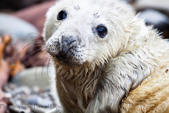 Newborn seal pup on Faray by Premysl Fojtu