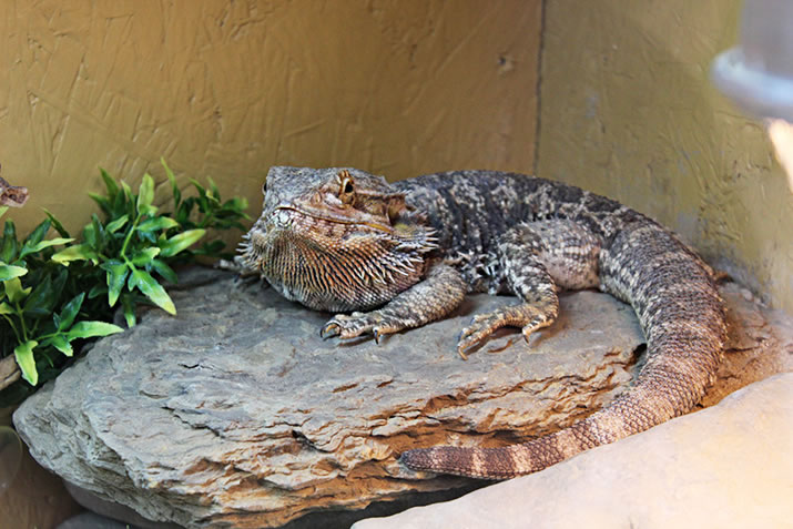 Bearded Dragon at Fern Valley Wildlife Centre, Orkney