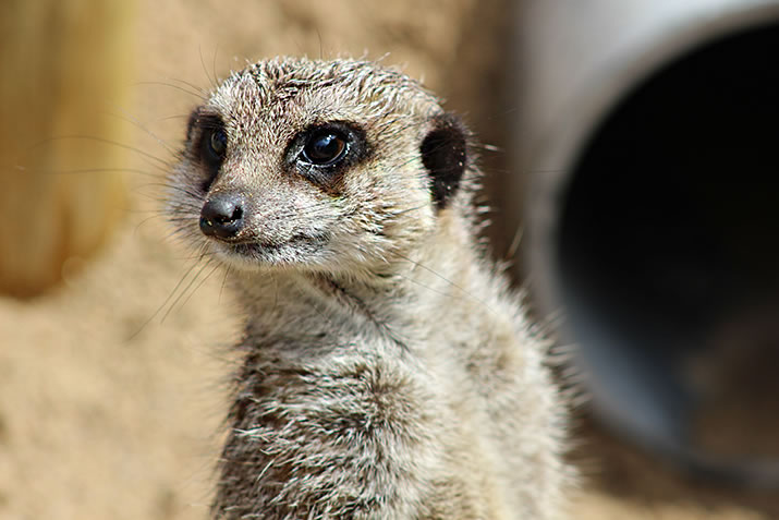Meerkat at Fern Valley, Orkney