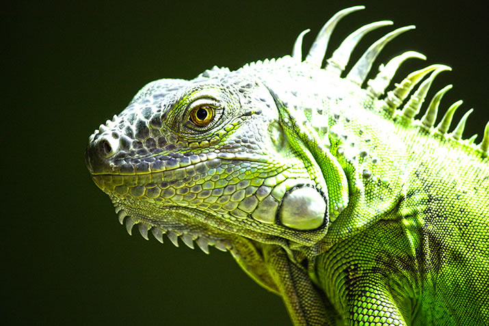 Max the Iguana at Fern Valley Wildlife Centre, Orkney