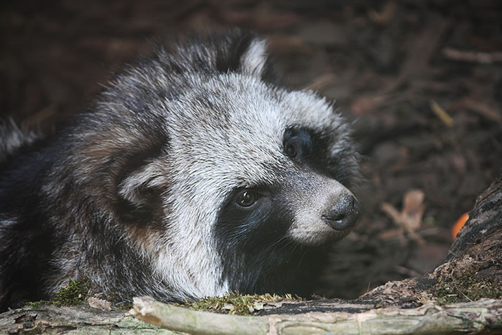 Raccoon dogs at Fern Valley Wildlife Centre, Orkney