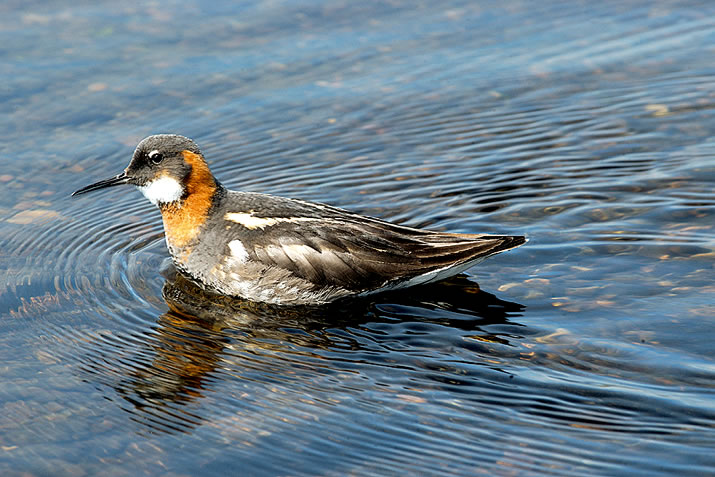 Red Necked Phalarope in the Shetland island of Fetlar