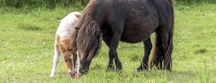 Shetland Pony and Foal