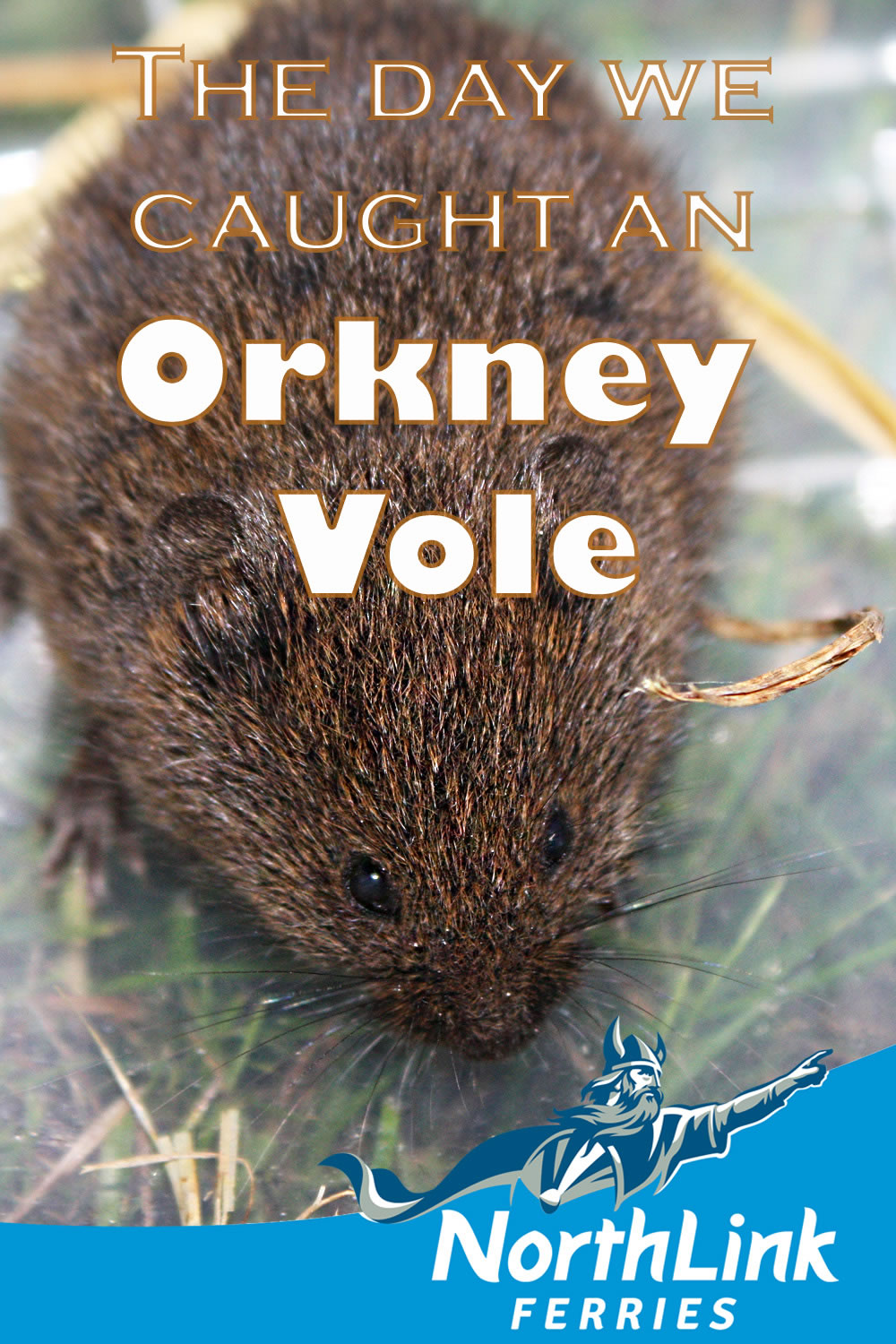 The day we caught an Orkney Vole