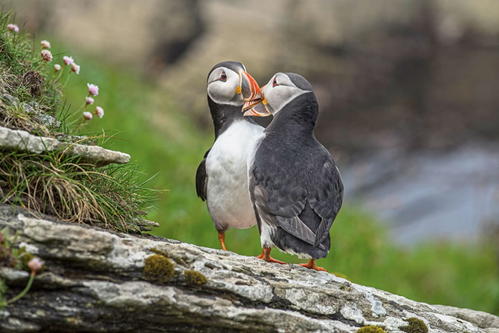 Puffins in Westray, Orkney