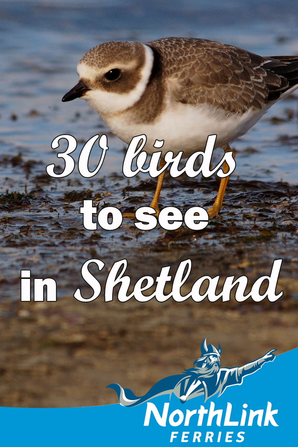 30 birds to see in Shetland