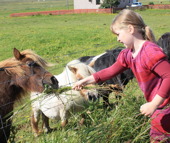 Shetland ponies will delight children who visit the Northern Isles