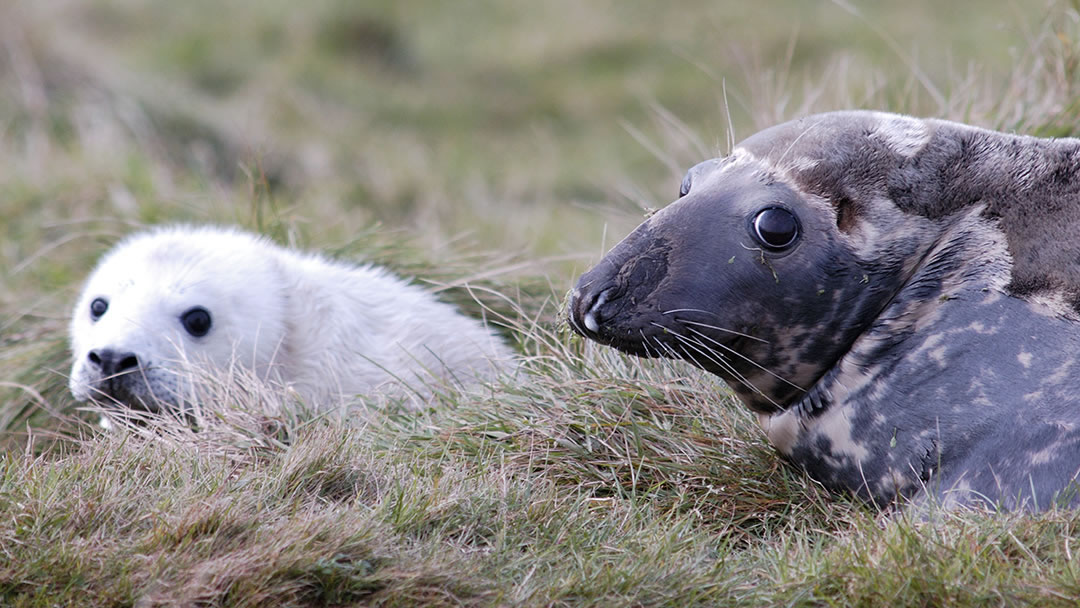 Grey Seal in Orkney