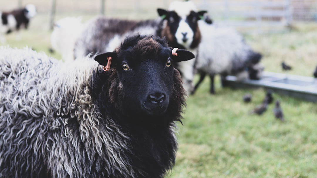 Sheep at Garths Croft in Bressay, Shetland
