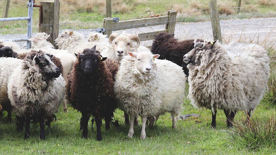 Uradale sheep