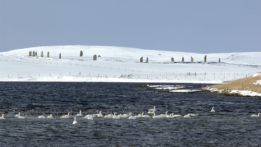 Swans at Brodgar in Orkney