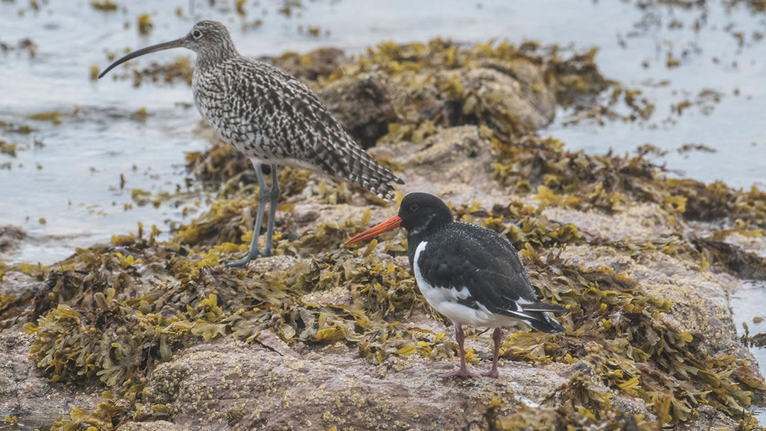 Curlew and Oystercatcher