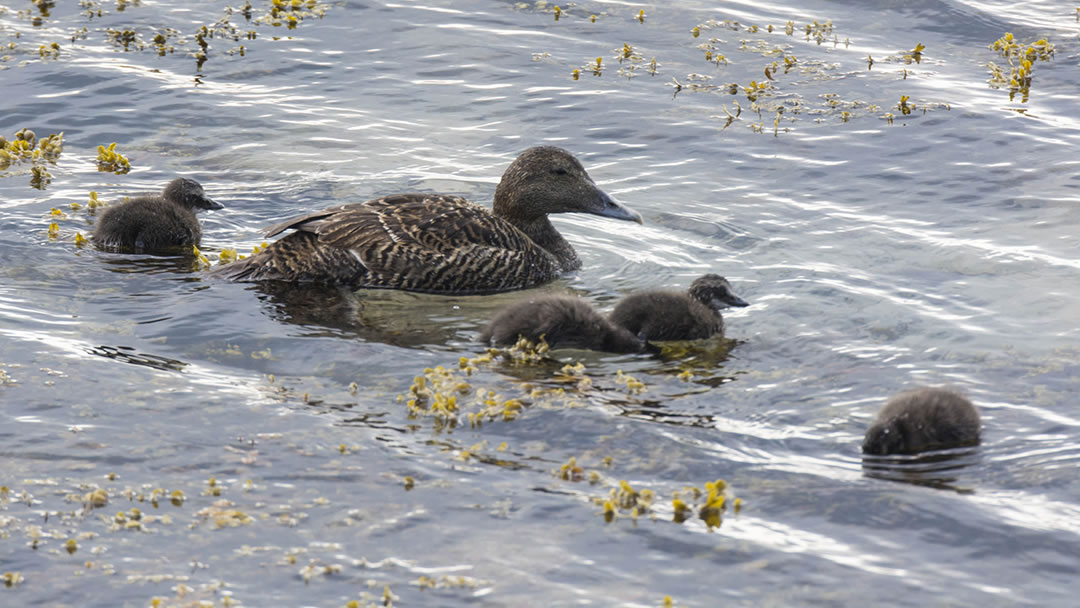 Eider duck and ducklings