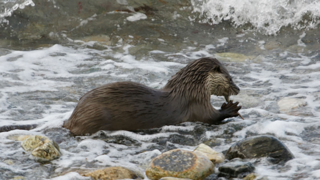 Otter (Lutra lutra) eating a butterfish in Shetland