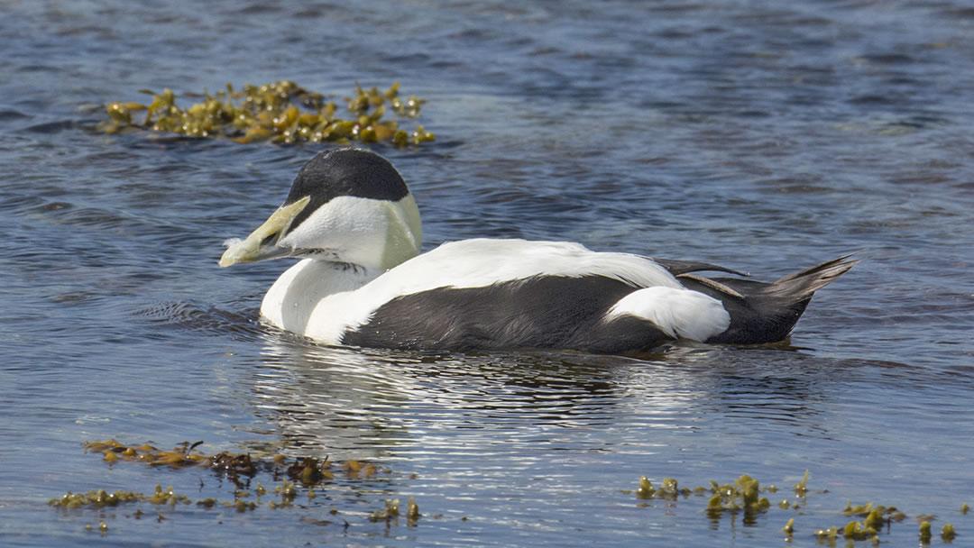 Eider duck in Scapa Flow, Orkney