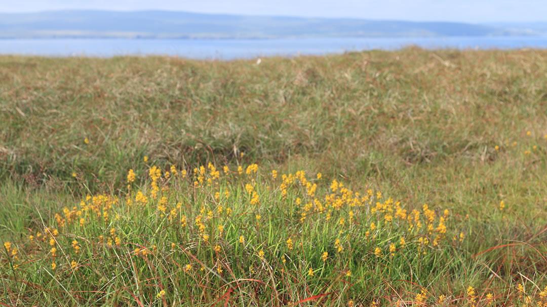 Wildflowers in Fetlar, Shetland